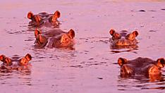[Gallery] 110 Hippos Died But Scientists May Know The Reason
