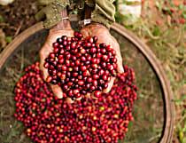Proteger o futuro do café é o maior objetivo da Nespresso