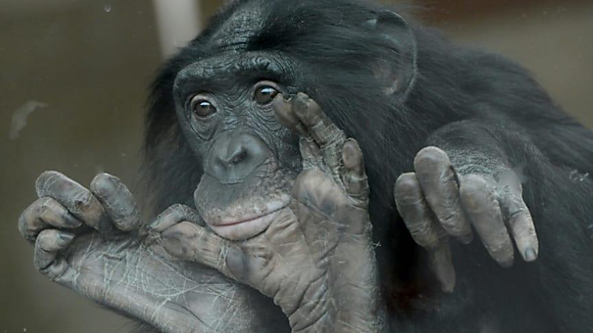 Bonobos se sentem mais atraídos por pessoas insensíveis do que gentis